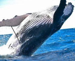 クジラ 歯 本数 大きさ