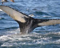 クジラ 尾びれ 威力