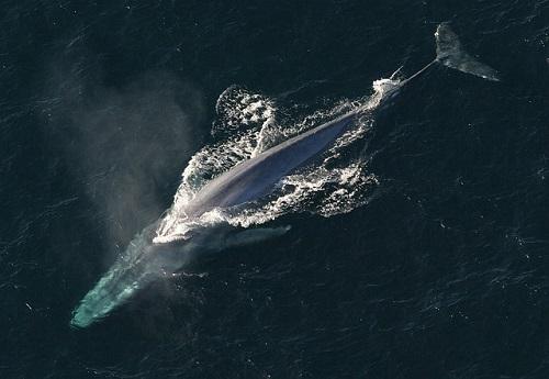 シロナガスクジラ 動物 英語 発音