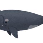 優しい生物!?セミクジラって一体どんなクジラ!?