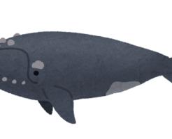 セミクジラ 口