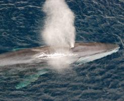 ナガスクジラ 大きさ