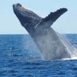 鯨の刺身を食べても平気なの?寄生虫の心配は?