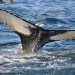 クジラの尾びれ!尾びれの威力の大きさは?