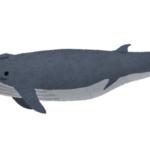 ナガスクジラの名前の由来や英語での読み方について!