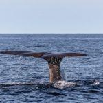 マッコウクジラの脳の大きさってどれくらい?賢いの?