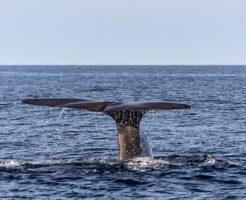 マッコウクジラ 龍涎香 結石