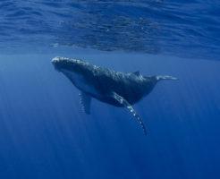 シロナガスクジラ 赤ちゃん 大きさ