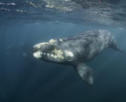 セミクジラ 大きさ